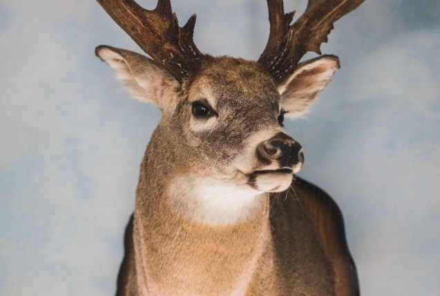 Dryden buck on display