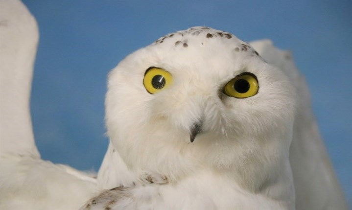 Snowy Owl on Display